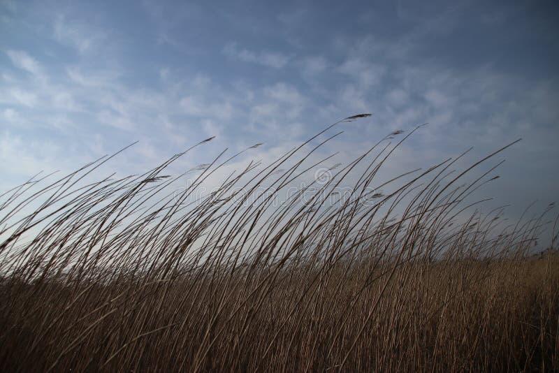 Reed está arqueando con el viento a lo largo de la orilla de Hollandse Ijssel en los Países Bajos imagen de archivo