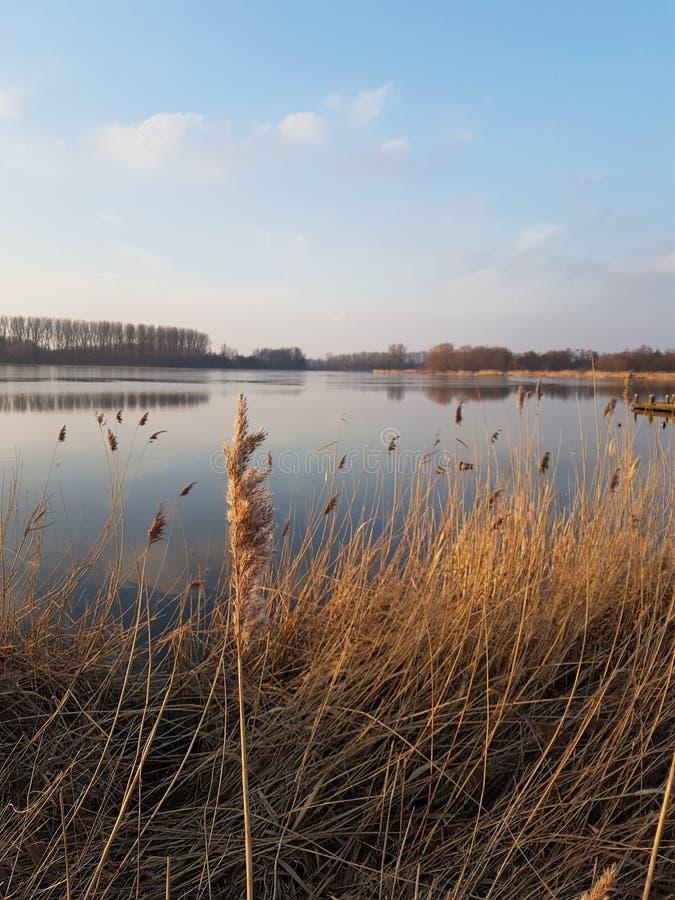 Reed está coloreando por la puesta del sol en el río Rotte en Zevenhuzen, Zuidplas los Países Bajos fotografía de archivo