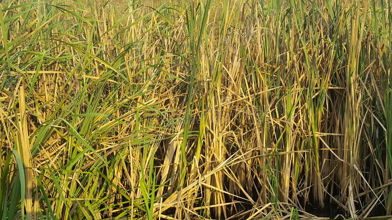 Reed field in swamp stock photography