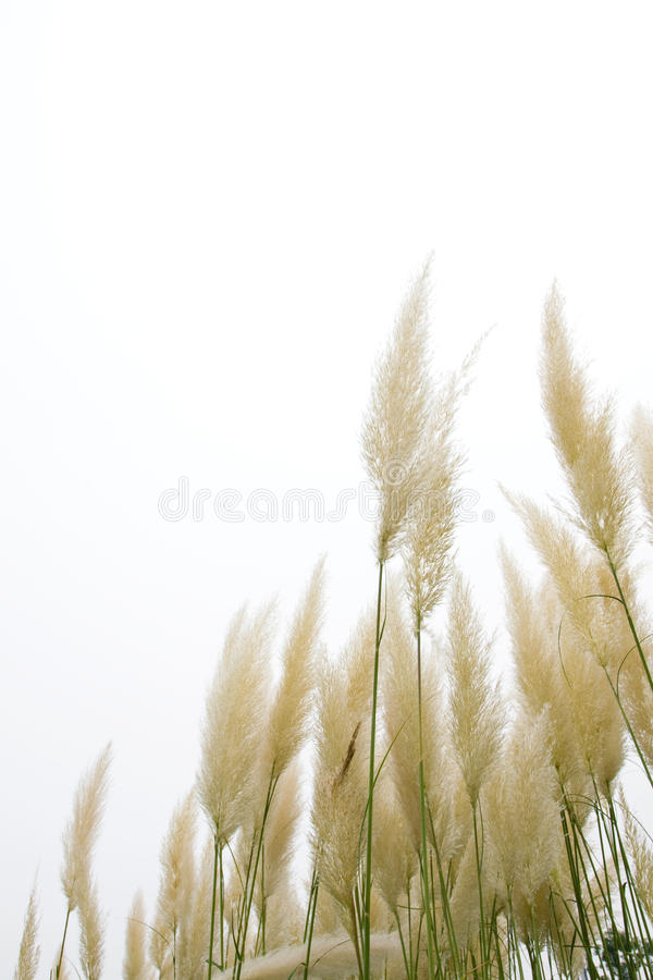 Download Reed flowers stock image. Image of grassland, background - 15843829