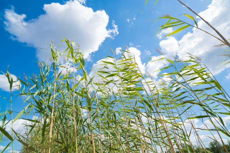 Reed gegen einen blauen Himmel stockfotos