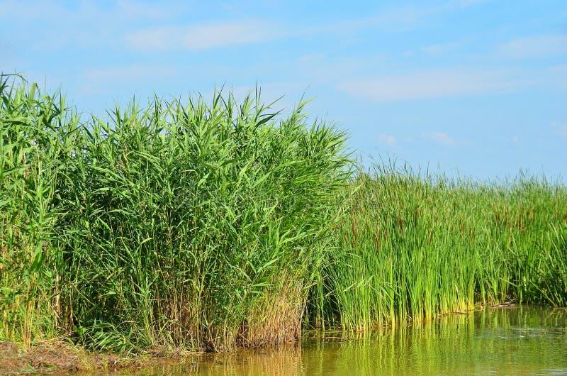 Reed (GEN del Scirpus ) spinney en el río fotos de archivo