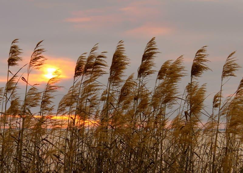 Reed Grass imagen de archivo libre de regalías