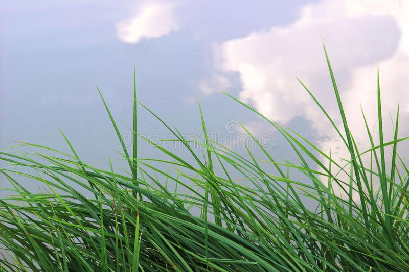 Reed grass at the edge of a pond royalty free stock image