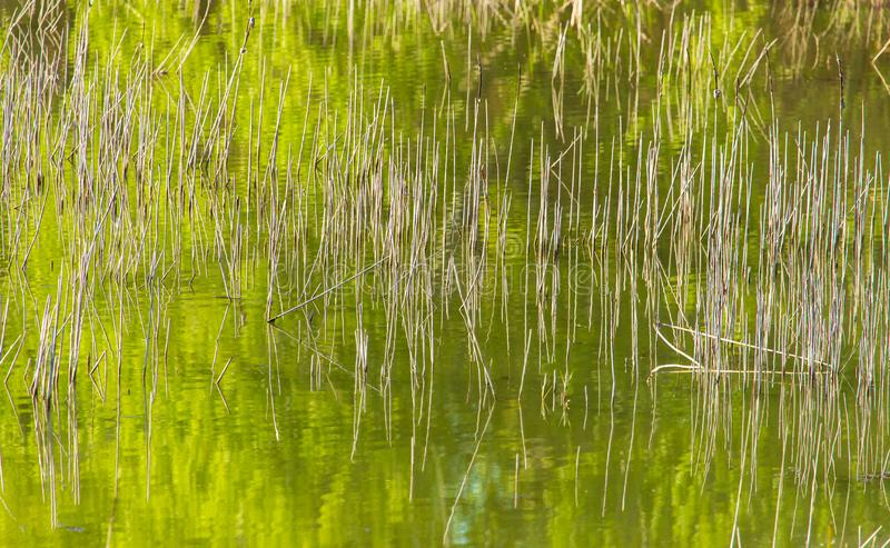 Reed grows in the pond as a background stock image