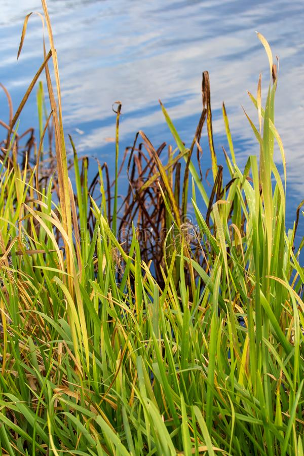 Reed grows on a pond in autumn royalty free stock images