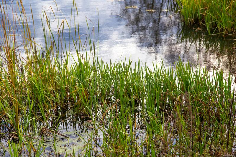 Reed grows on a pond in autumn stock image