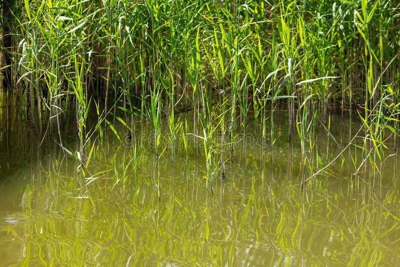 Reed grows in water on a pond royalty free stock image
