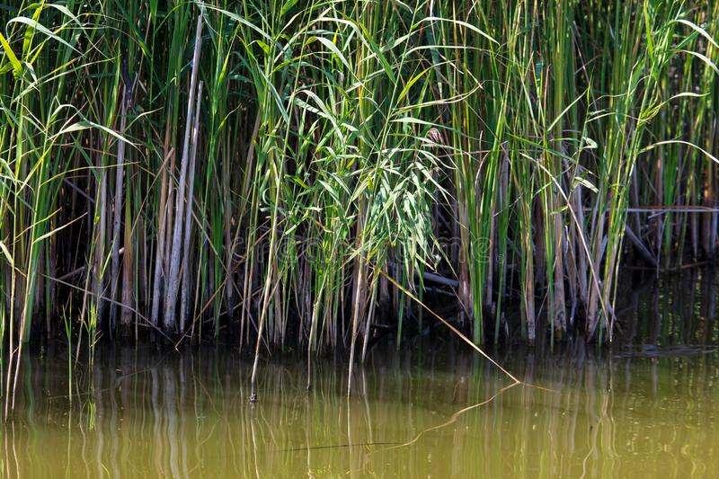Reed grows in water on a pond stock images