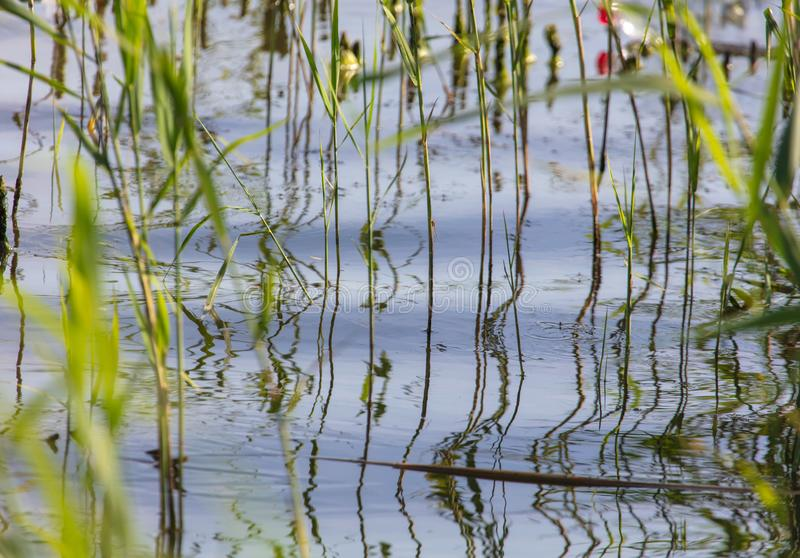 Reed grows in water on a pond stock photos