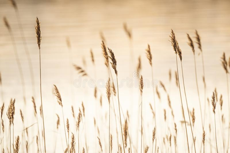 Reed in Hintergrundbeleuchtung stockfoto