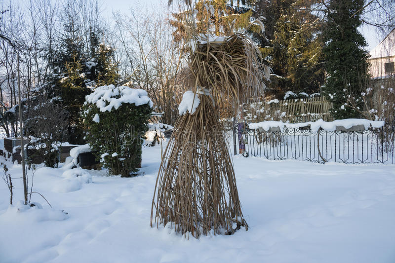 Reed in the ice droplets. Winter Garden. royalty free stock image