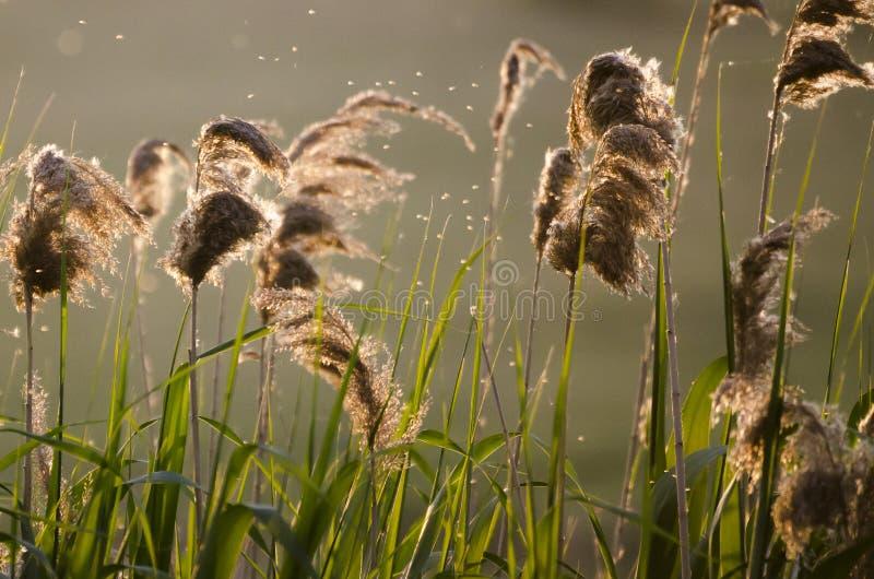 Reed im Sonnenuntergang stockfotografie