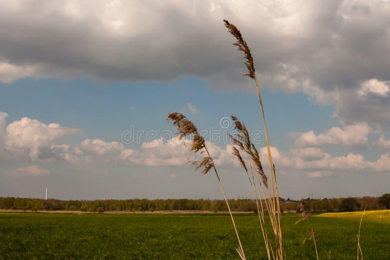 Reed im Vordergrund und Naturreservat Boberg und Kamin des Kraftwerks Muemmelmannsberg im undeutlichen Hintergrund lizenzfreies stockbild
