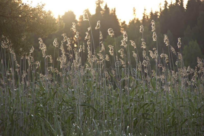 Reed, Karelia, Россия стоковые фотографии rf