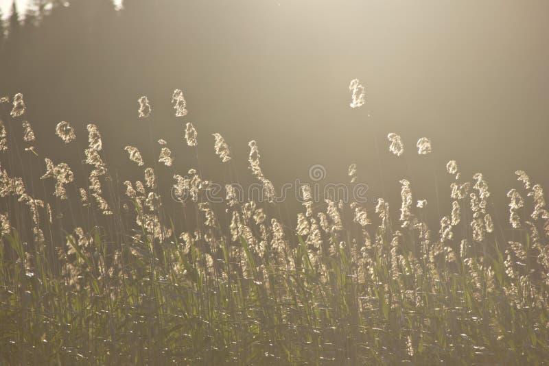 Reed, Karelia, Россия стоковое фото