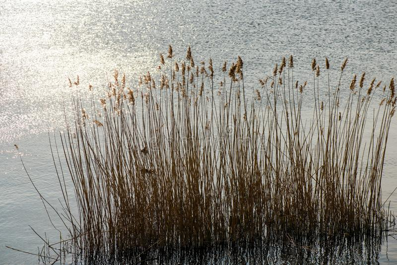 Reed on a lake stock images