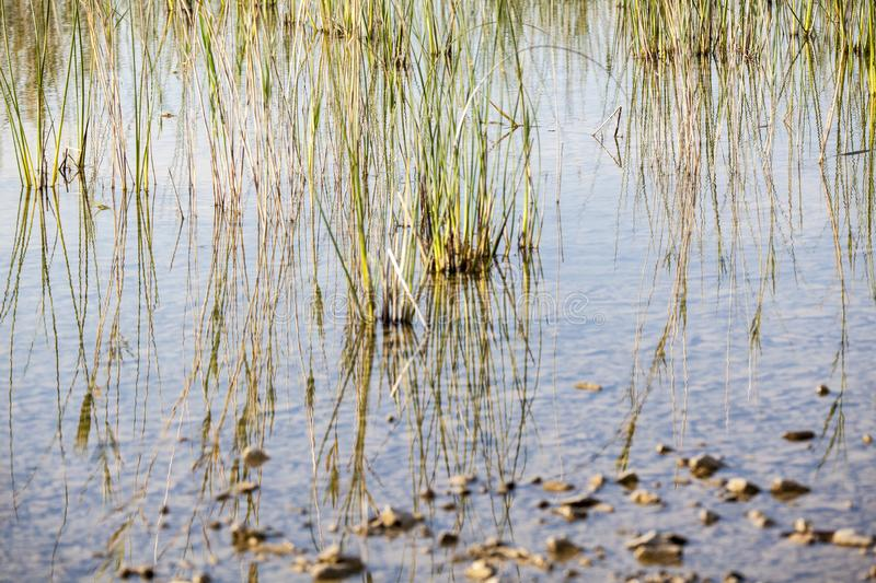 Reed in the lake, stock images