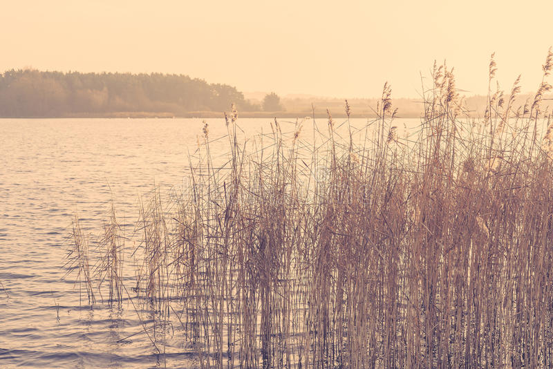 Reed by a lake in the morning sunrise royalty free stock photo