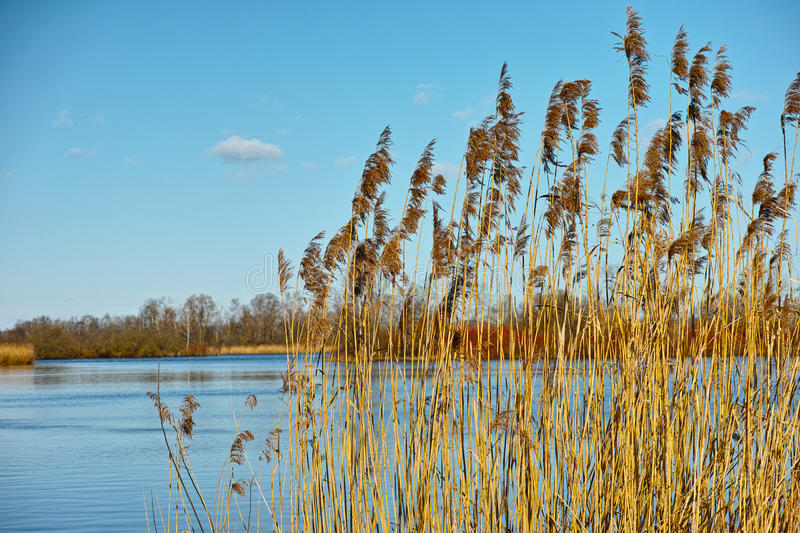 Reed at lake scenery. Lake idyll with common reed growth in spring. Vegetation in Germany stock photos