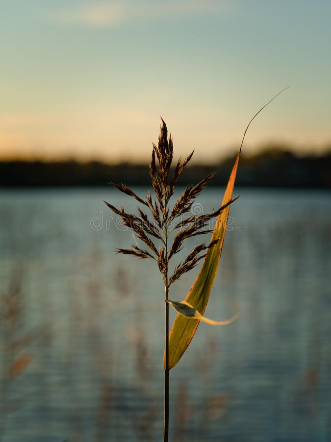 Reed in a lake royalty free stock photo