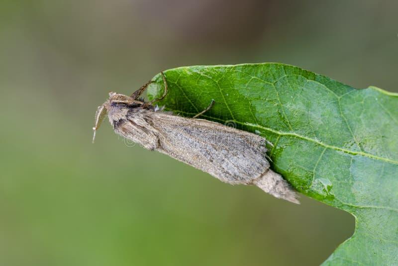 Giant Borer sitting on oak leaf stock photo
