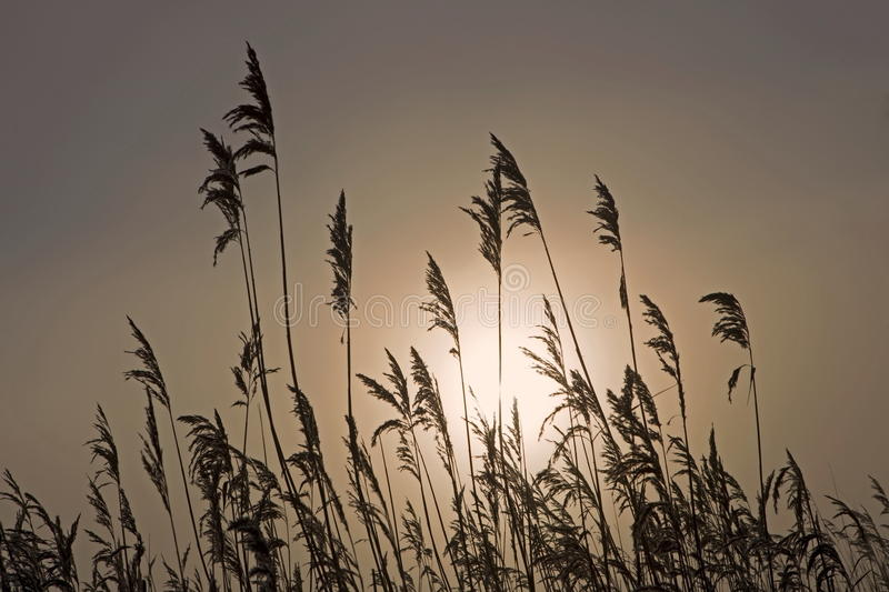 Reed in light rising sun. Netherlands stock images