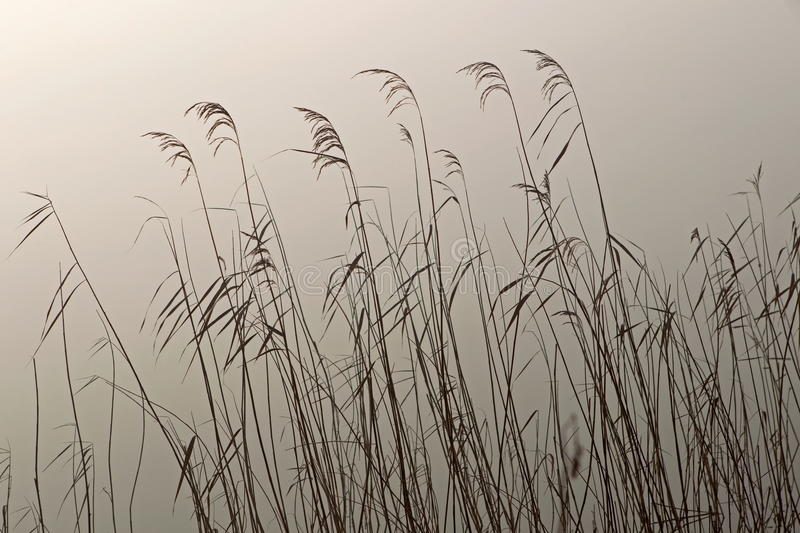 Reed in the light of the rising sun. Netherlands royalty free stock photos