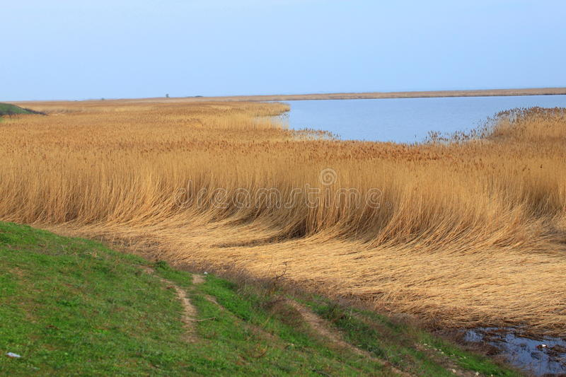 Reed lying down at the edge of a lake. stock photography