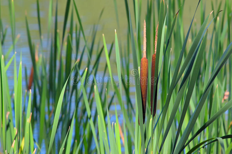 Reed Mace stock photo