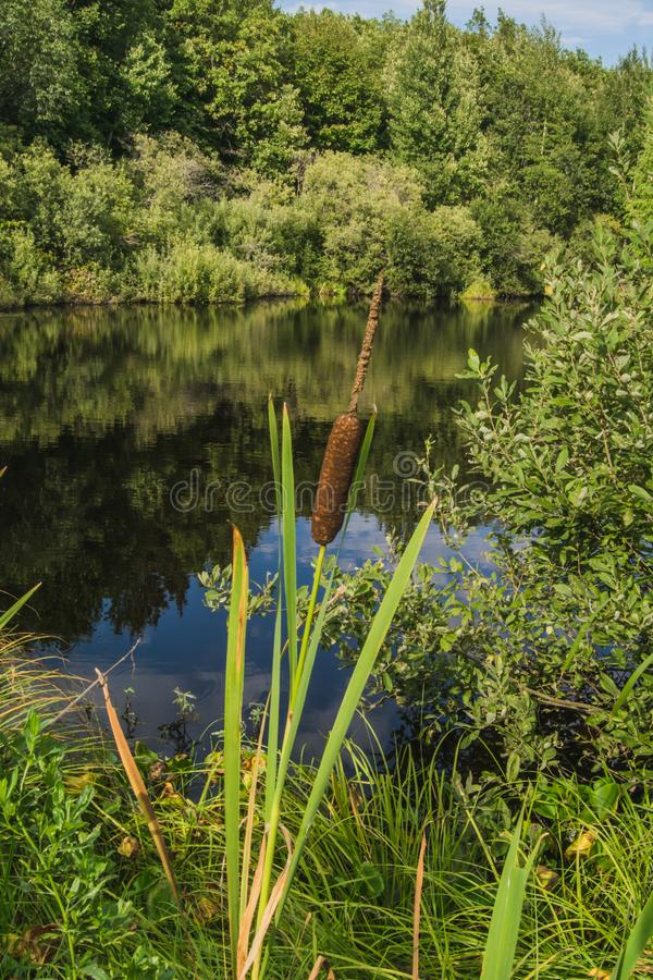 Reed mace near a lake with a mirror surface royalty free stock image