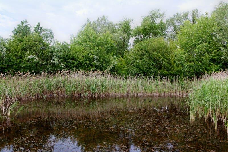 Reed Nature reserve, Zwin, Bruges, Sluis, Βέλγιο, Κάτω Χώρες στοκ φωτογραφία με δικαίωμα ελεύθερης χρήσης