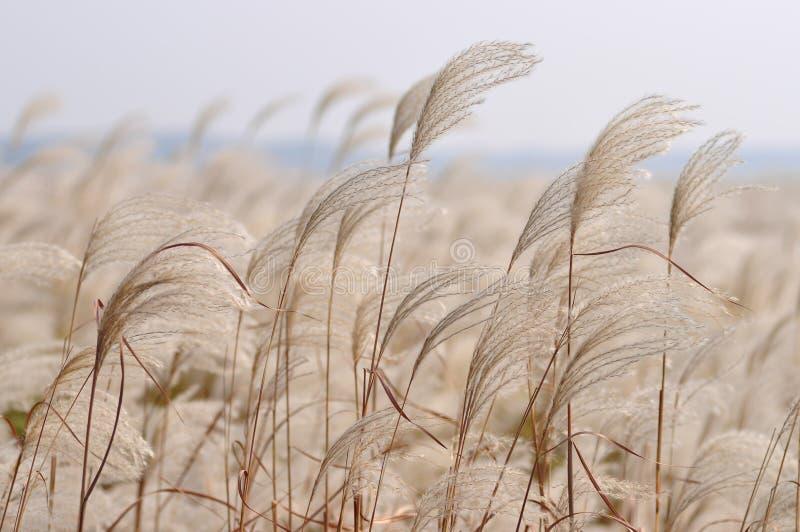 Reed nel vento immagini stock