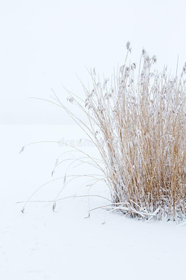 Reed no inverno com geada fotografia de stock