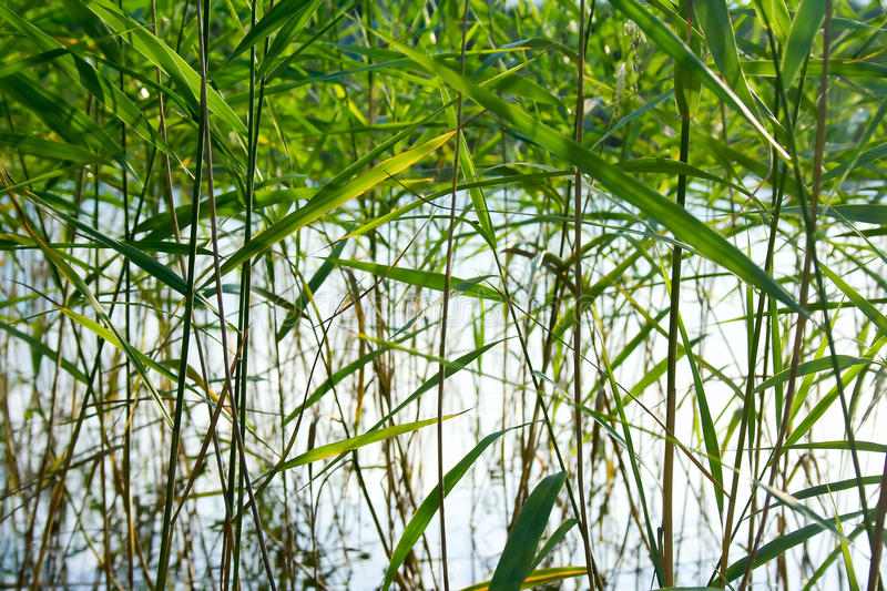 Reed pattern. Abstract background / backdrop with plant / reed / reeds bush closeup forming a geometric green pattern. Can be used as a wallpaper stock image