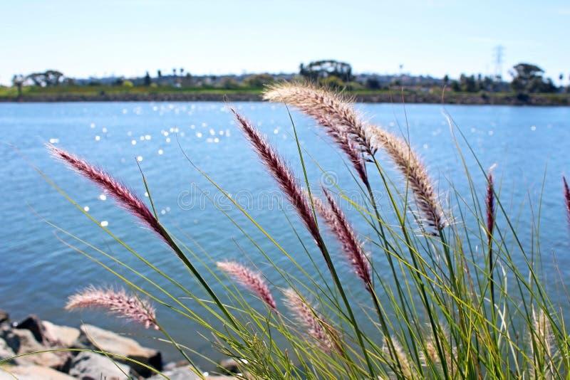Reed pela costa, San Diego, Califórnia foto de stock royalty free