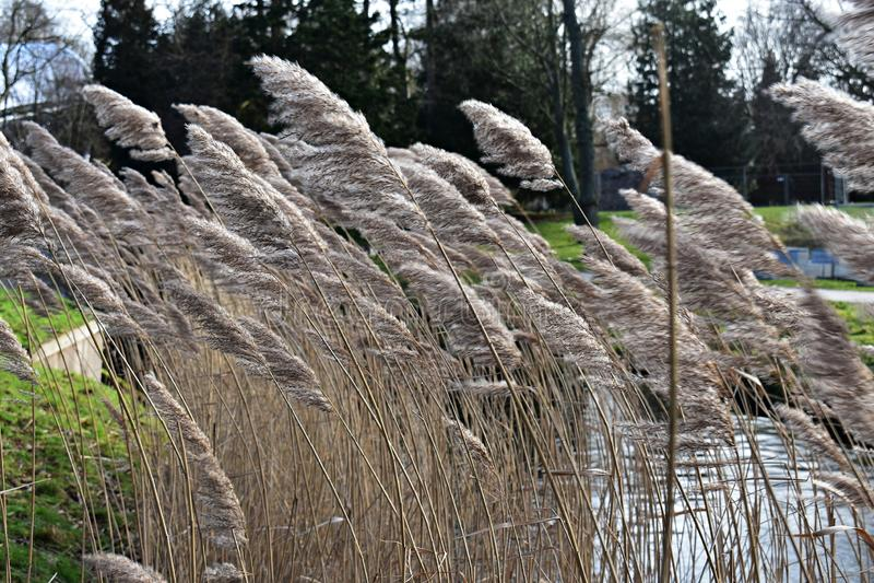Reed, Phragmites australis auf dem Ufer des Sees E lizenzfreies stockfoto