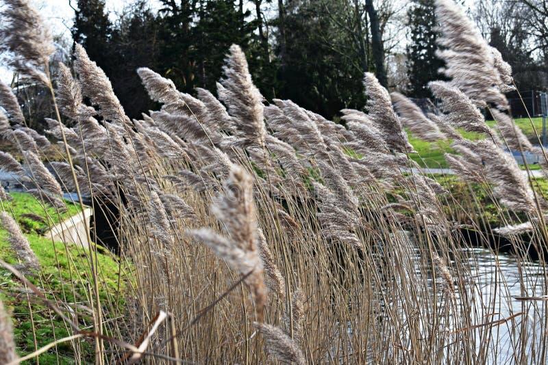 Reed, Phragmites australis auf dem Ufer des Sees E stockbild