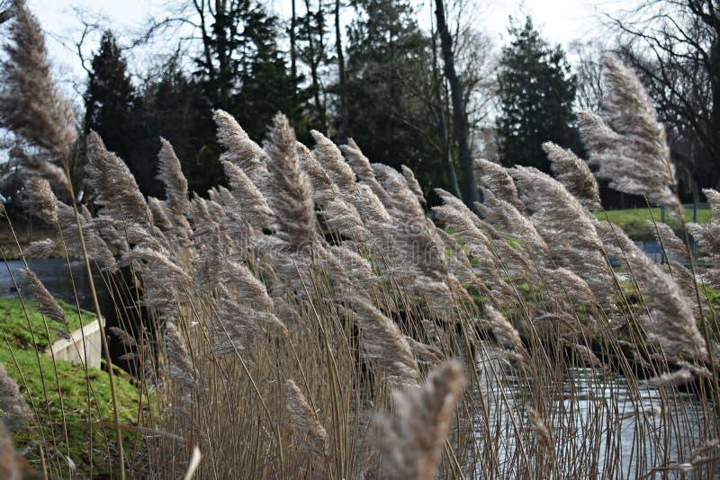 Reed, Phragmites australis auf dem Ufer des Sees E stockfotos