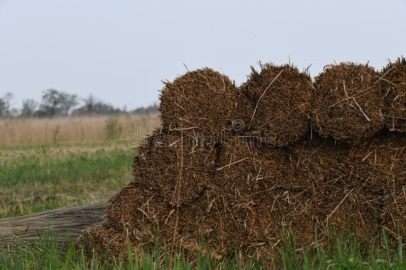 Reed is piled up and ready to be picked up stock photography
