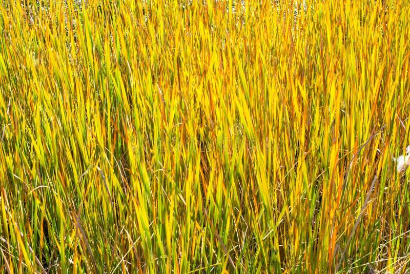 Reed Plant Along Creek photo stock