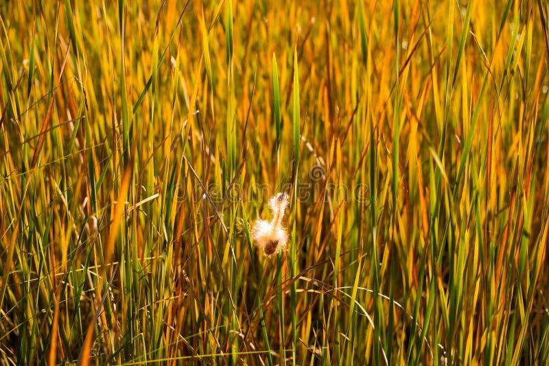Reed Plant Along Creek images libres de droits