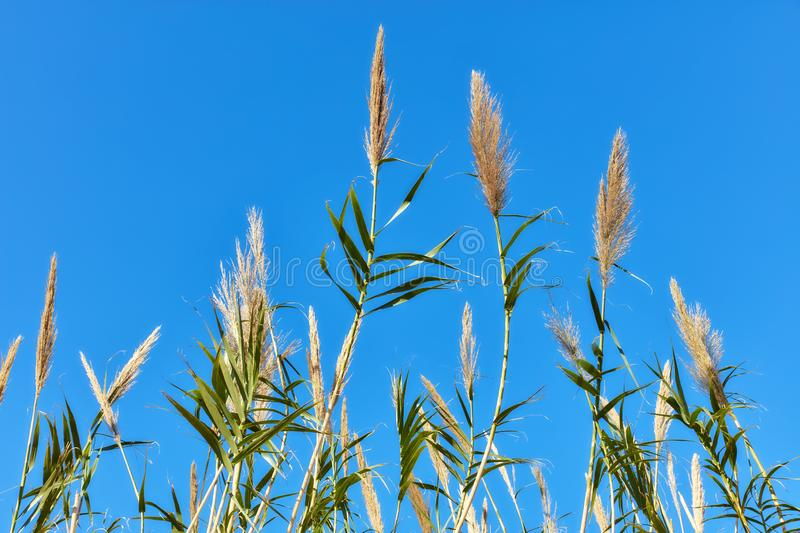 Reed plant and blue sky. Background. Close up detail view stock photo
