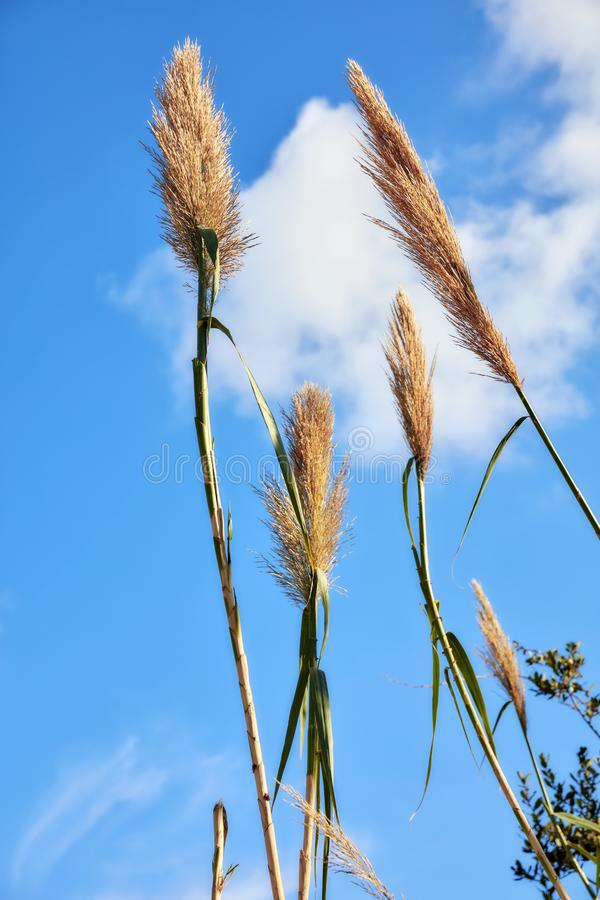 Reed plant and blue sky. Background with clouds. Close up detail view stock photos