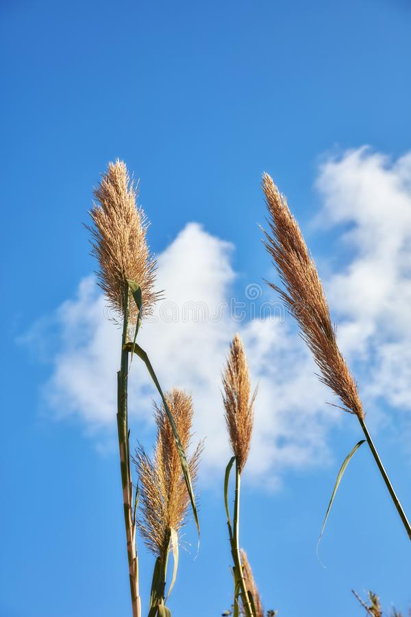 Reed plant and blue sky. Background with clouds. Close up detail view stock images