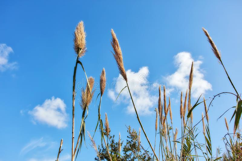 Reed plant and blue sky. Background with clouds. Close up detail view royalty free stock photography