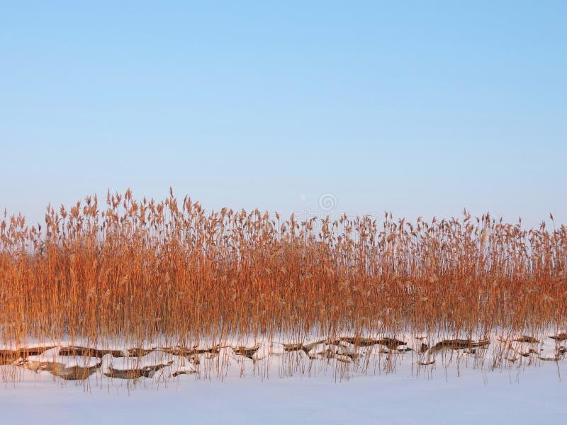 Reed planta cerca del río en invierno, Lituania fotografía de archivo
