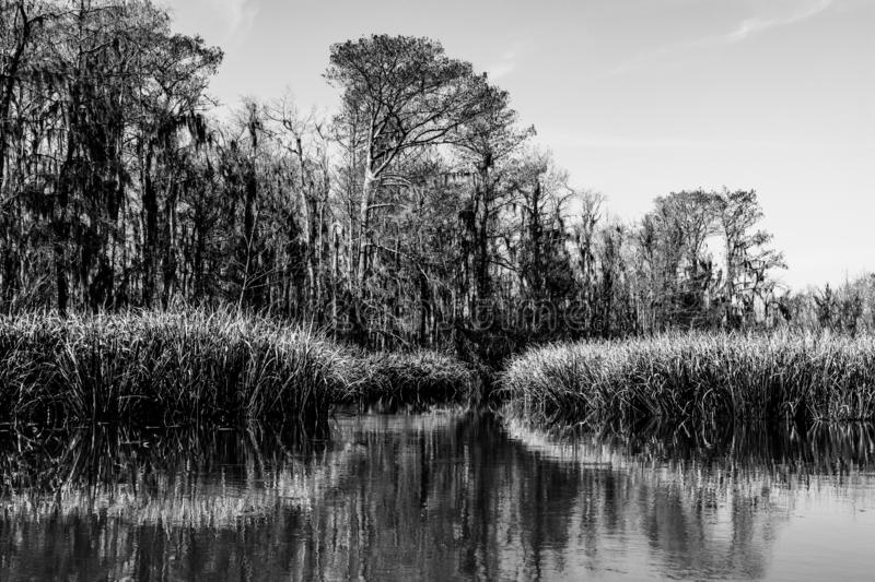 Reed plants and cypress trees in the swamp wetlands near New Orleans in the Louisiana Bayou in black and white royalty free stock images