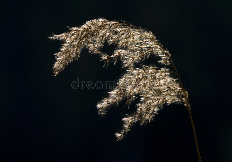 Reed plume on black. A reed plume photographed against a dark background. The back-light of the sun gives this reed plume a warm, golden color stock photo
