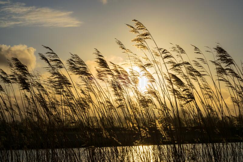 Reed plumes along the waterside are silhouetted against the sunny sky. Photograph was taken on an evening in spring in the Green Heart of Holland: a typical royalty free stock photography